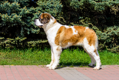 Moscow Watchdog  in profile.  Moscow Watchdog is in the city park. Stock Photo - 117261919