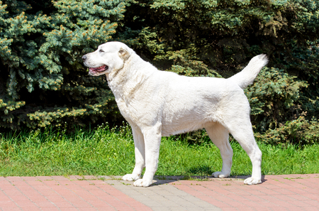 Central Asian Shepherd Dog stands in profile. Central Asian Shepherd Dog stands in the city park.