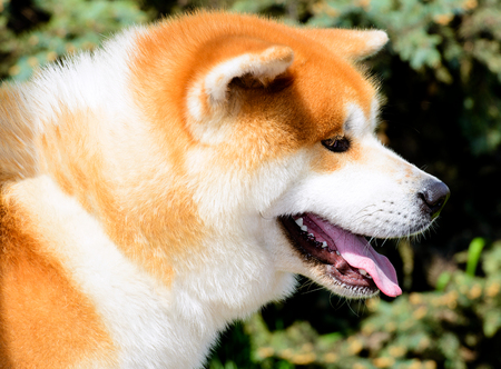 Japanese Akita Inu portrait in profile. The Japanese Akita Inu is in the city park.