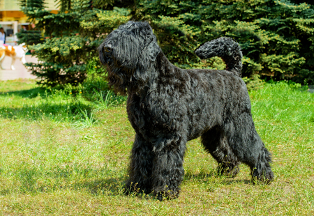 Giant Schnauzer ready. The Giant Schnauzer stands on the green grass in city park. Stock Photo - 117262020
