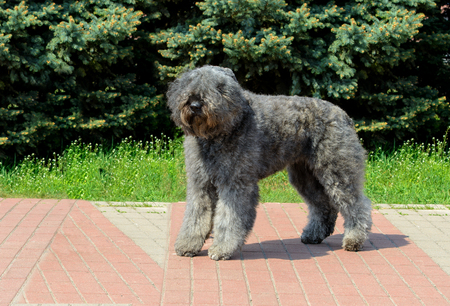 Bouvier des Flandres looks aside. The Bouvier des Flandres stands in the city park. Stock Photo - 117262021
