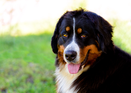 Bernese Mountain Dog portrait. The Bernese Mountain Dog is in the city park. Stock Photo - 117262043