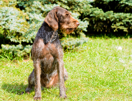 German Wirehaired Pointer looks to the left.  The Drahthaar seats on the green grass. Stock Photo - 117262048