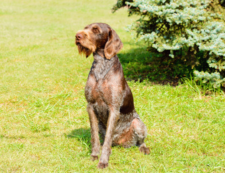German Wirehaired Pointer looks to the right.  The Drahthaar seats on the green grass. Archivio Fotografico