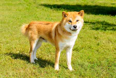 Shiba Inu looks in camera. The Shiba Inu stands on the green grass. 版權商用圖片