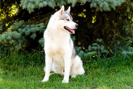 Husky looks left. The husky is on the green grass.