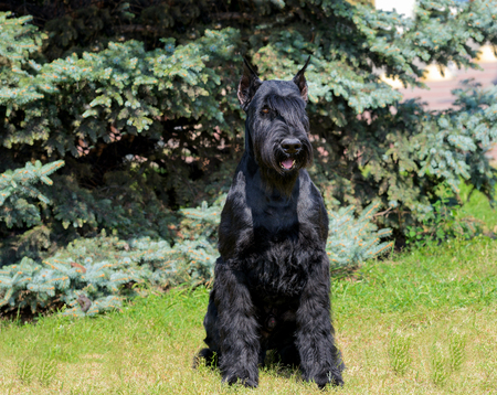 Giant Schnauzer in full face. The Giant Schnauzer stands on the green grass in city park. Stock Photo - 117262071