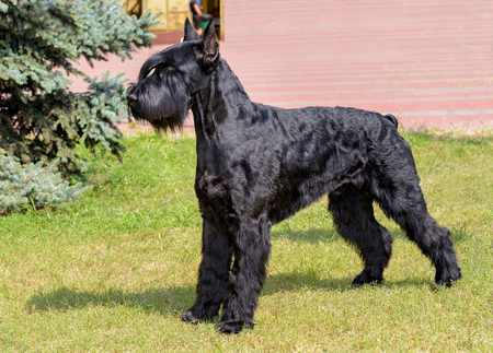 Giant Schnauzer looks ahead. The Giant Schnauzer stands on the green grass in city park. Archivio Fotografico