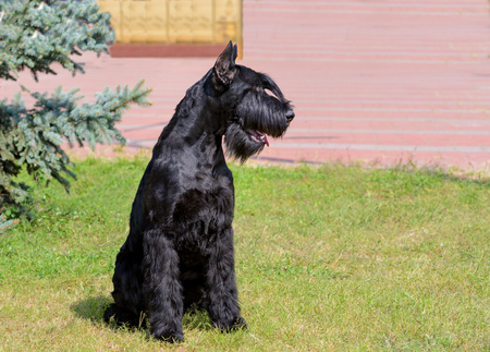 Giant Schnauzer looks left. The Giant Schnauzer stands on the green grass in city park. Archivio Fotografico