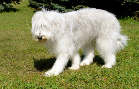 South Russian Sheepdog left side. The South Russian Sheepdog is in the park.
