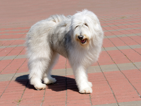 South Russian Sheepdog looks aside. The South Russian Sheepdog is in the park. Stock Photo - 117262194