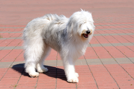 South Russian Sheepdog right side. The South Russian Sheepdog is in the park. Archivio Fotografico
