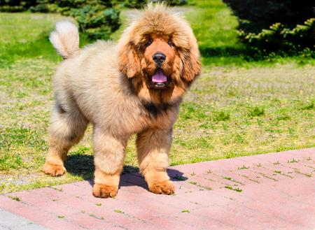 Tibetan Mastiff  puppy stands.  The Tibetan Mastiff is in the park on the green grass.