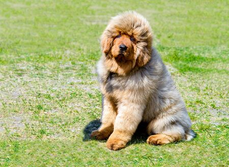 Tibetan Mastiff puppy seats.   The Tibetan Mastiff is in the park on the green grass.