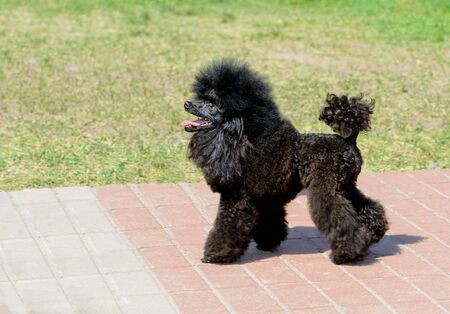 Poodle black in profile.  The black Poodle stands in the park.