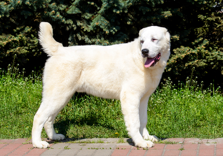 Central Asian Shepherd Dog looks right. The Central Asian Ovcharka stands in the park. Archivio Fotografico