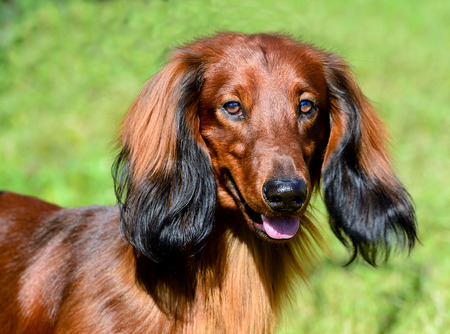 Dachshund long-haired portrait. The portrait of long-haired Dachshund. Archivio Fotografico