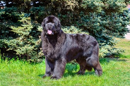 Bouvier des Flandres looks aside.  The Bouvier des Flandres stands on the green grass. Archivio Fotografico - 132767720