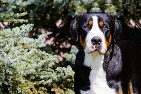 Greater Swiss Mountain Dog portrait. The Greater Swiss Mountain Dog is in the in the city park.