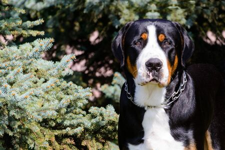 Greater Swiss Mountain Dog with collar.  The Greater Swiss Mountain Dog with collar is in the city park.