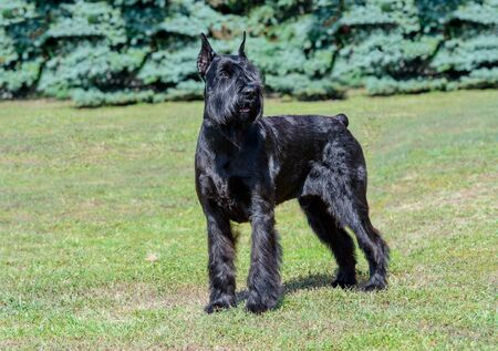 Giant Schnauzer looks aside. The Giant Schnauzer stands on the green grass in city park.