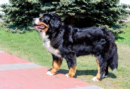 Bernese Mountain Dog in profile. The Bernese Mountain Dog is in the city park. Archivio Fotografico