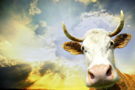 Silly smiling cow on sky background  photo