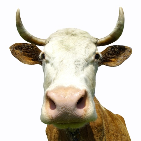 Cow Isolated on white background photo