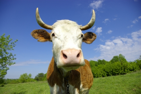 Brown Holstein cow in the field looking at you Stock Photo - 17979755