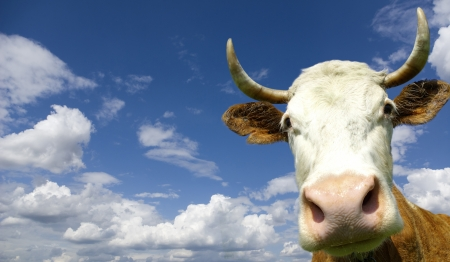 Brown Holstein cow in the field looking at you  photo