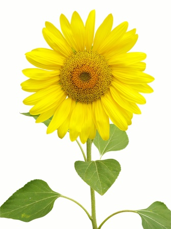 Yellow sunflower isolated on white photo
