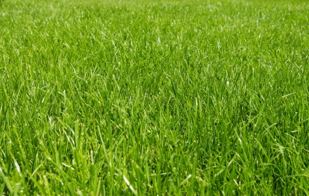 Green texture of grass is in a garden photo