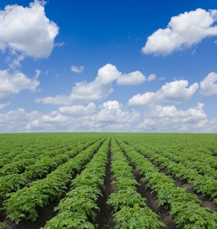 potato field: potato field  under blue sky