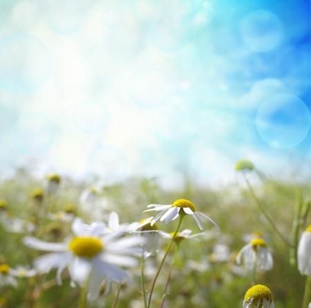 campo de margaritas: Paisaje hermoso del verano con las margaritas Foto de archivo