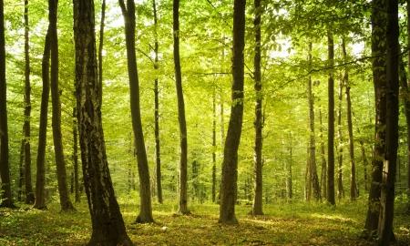 Sunlight in den grünen Wald, Frühling