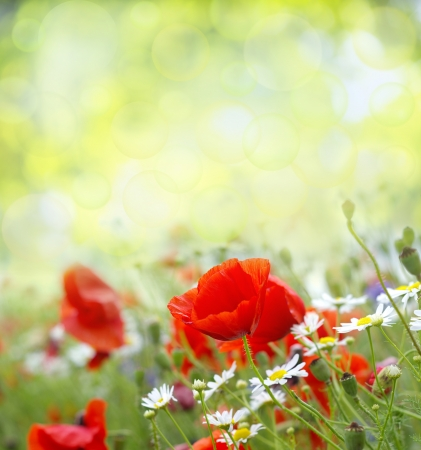 Field of Red Poppies Stock Photo - 18054035