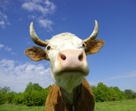 cow head: Brown Holstein cow in the field looking at you  Stock Photo