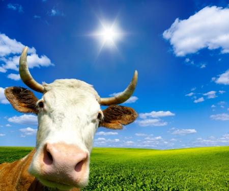 Bruin Holstein koe in het veld op zoek naar jou Stockfoto