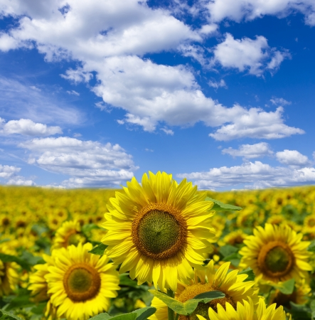 Gebied van bloemen van zonnebloemen