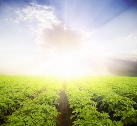 Aardappel veld onder blauwe hemel