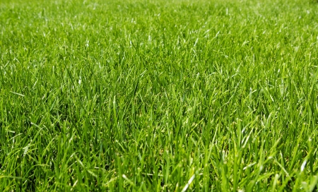 grass field: Green texture of grass is in a garden Stock Photo