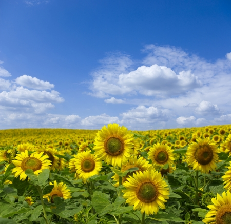 Field of flowers of sunflowers photo