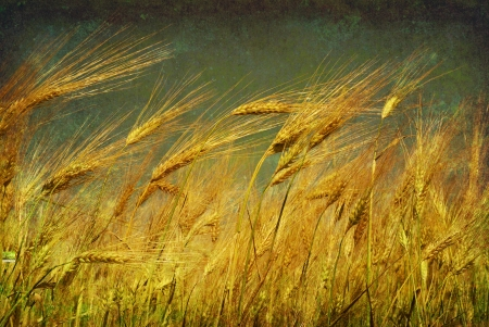Ears of wheat on a grunge background  photo