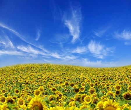 Field of sunflowers on Ukraine
