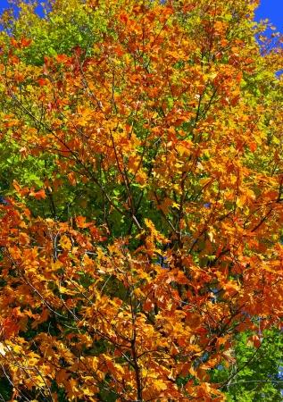 Tree in fall autumn on blue sky photo