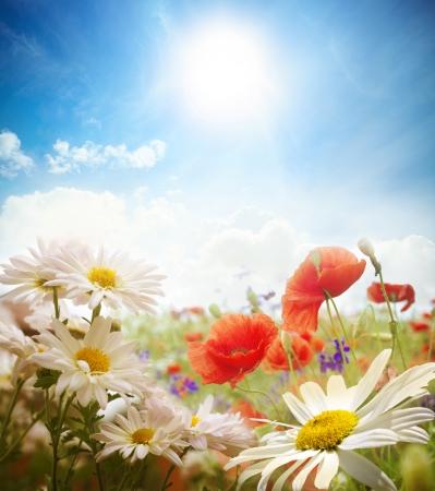 flor morada: Campo de margaritas, el cielo y el sol.