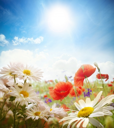 fresh flowers: Field of daisies, sky and sun.  Stock Photo