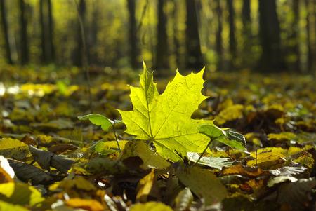 yellowautumn: Autumn  leaves Stock Photo