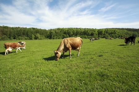 holstein cow: Brown Holstein cow in the field