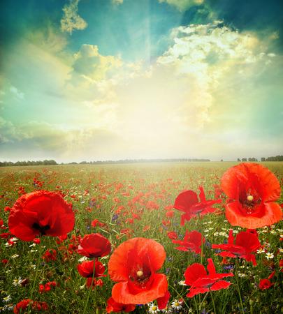landscape flowers: landscape poppy flowers in the sky Stock Photo